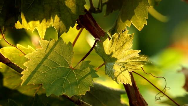 vídeos y material grabado en eventos de stock de hojas verdes de árbol de uva sobre fondo del atardecer - uva