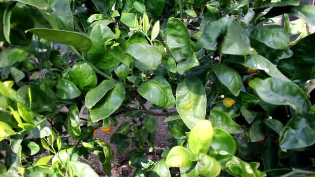 緑の葉に、オレンジの木 - アナモルフィック点の映像素材/bロール