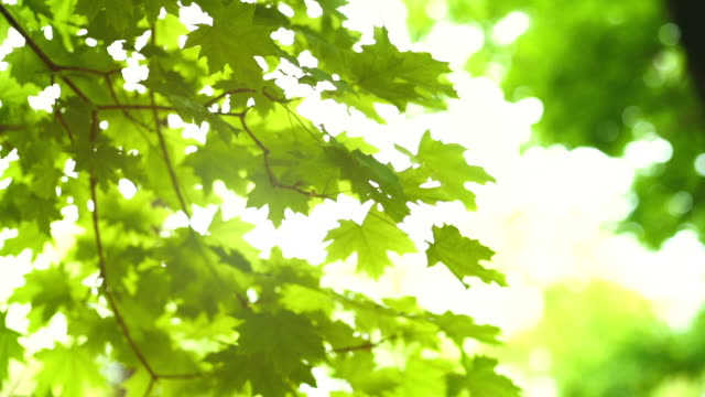 green leaves on tree branch blowing. the sun rays shine and twinkle through the leaves and branches - branch plant part stock videos & royalty-free footage