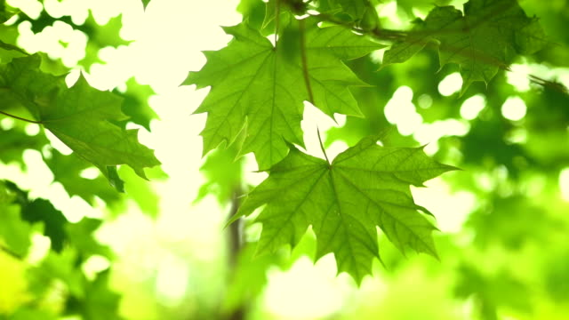 green leaves on tree branch blowing. the sun rays shine and twinkle through the leaves and branches - leaf stock videos & royalty-free footage
