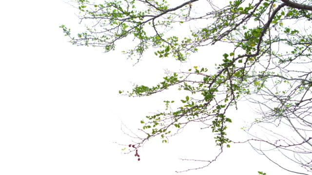 白い背景に緑の葉 - 枝点の映像素材/bロール