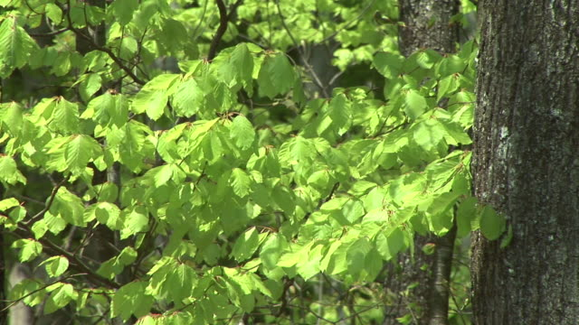hd: green leaves - deciduous tree stock videos & royalty-free footage