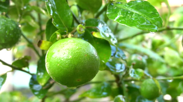 green lemon close up shooting on dolly - fruit tree stock videos & royalty-free footage