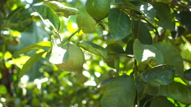 green lemon tree in a garden - lime stock videos and b-roll footage