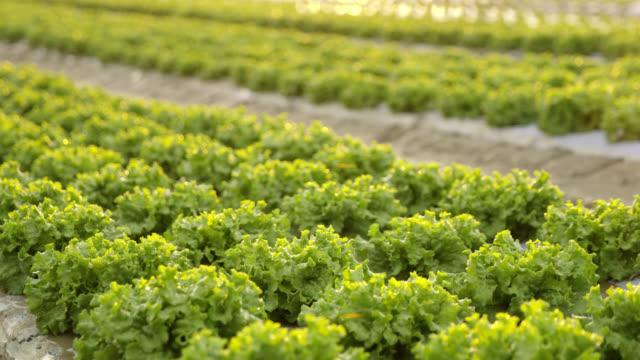 DS Green lettuce plants on a field