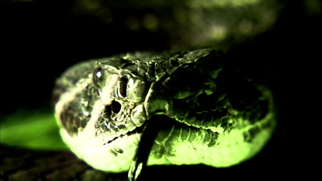 a green light shines on a rattlesnake flicking its tongue. - viper stock videos & royalty-free footage