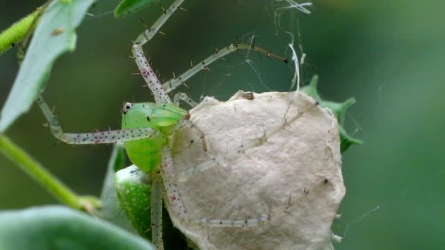 green lynx spider - arachnid stock videos and b-roll footage
