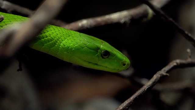 green mamba portrait - scaly stock videos & royalty-free footage