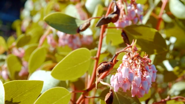 stockvideo's en b-roll-footage met green manzanita shrub in bloom macro forest wildflowers in meadow mt. hood spring forest oregon cascade mountains - pacific crest trail