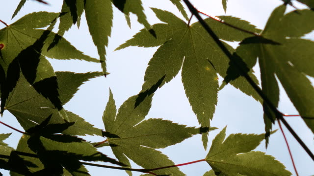 green maple leaf in japan - maple leaf stock videos and b-roll footage