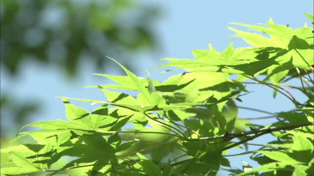 green maple leaves against blue sky - bigleaf maple stock videos and b-roll footage