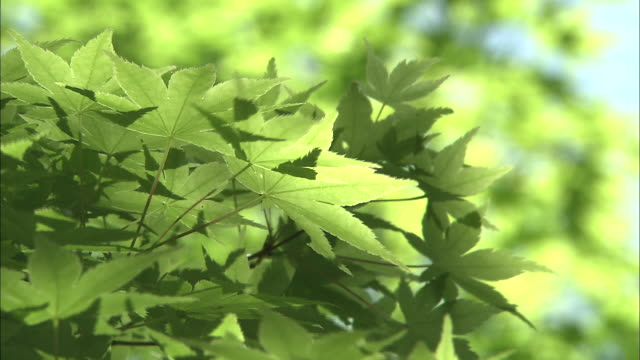 green maple leaves blowing in wind - bigleaf maple stock videos and b-roll footage