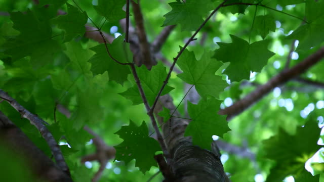 green maple leaves looking up through tree - maple tree stock videos and b-roll footage