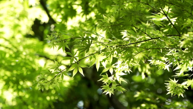 slo mo 緑のカエデの葉。 - 枝点の映像素材/bロール