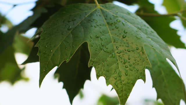 vídeos de stock, filmes e b-roll de folhas de bordo verdes - molhado