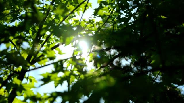 青もみじ - 春の風景 - hd - 木漏れ日点の映像素材/bロール