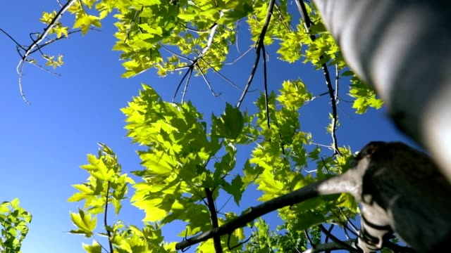 green maple - spring landscape - hd - maple tree stock videos and b-roll footage