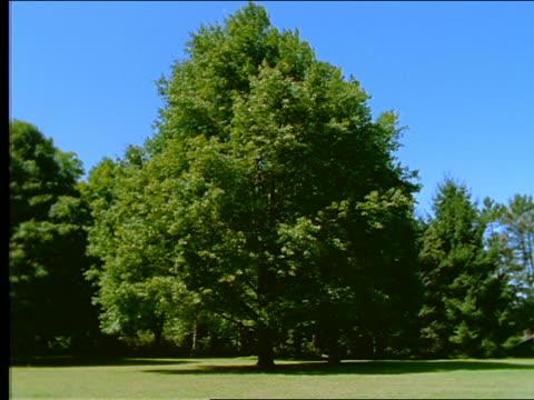 vidéos et rushes de green maple tree blowing in wind - arbre à feuilles caduques
