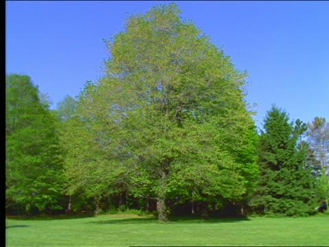 vidéos et rushes de green maple tree in grassy clearing - arbre à feuilles caduques