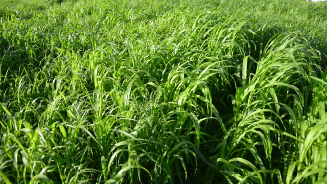Green meadow grass moved by strong winds