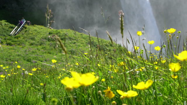 Green meadow with flowers in front of Seljalandsfoss waterfall in Iceland during a sunny bright day