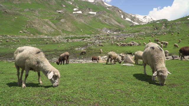 green meadows with grazing lovely fluffy sheep - grazing stock videos & royalty-free footage
