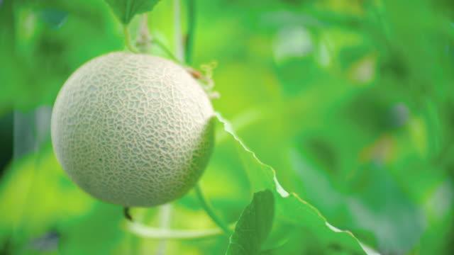vídeos de stock, filmes e b-roll de plantas de melão verde, crescendo na estufa - melão musk