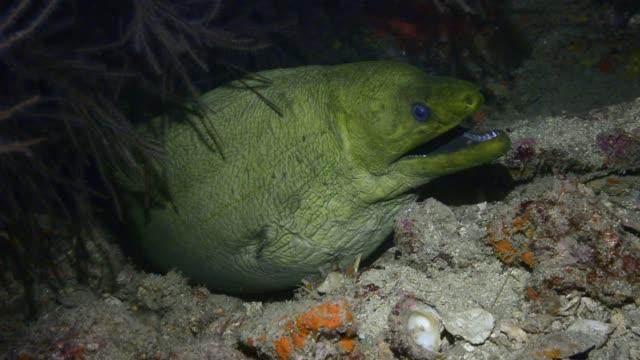 green moray at night. - moray eel stock videos & royalty-free footage