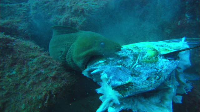 vídeos de stock, filmes e b-roll de green moray eel feeding, mexico  - moreia