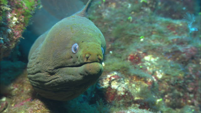green moray eel looks at camera, mexico  - moray eel stock videos and b-roll footage