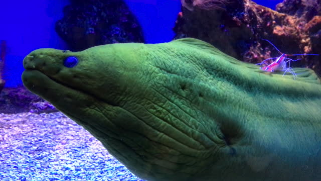 green moray eel & shrimp - prawn animal stock videos and b-roll footage