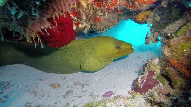 vídeos de stock e filmes b-roll de green moray eel - moreia enguia de água salgada