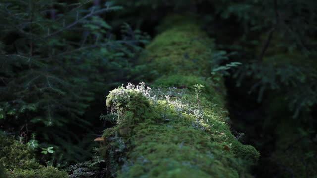 vídeos de stock, filmes e b-roll de green moss growing on fallen tree in thick forest - nagano