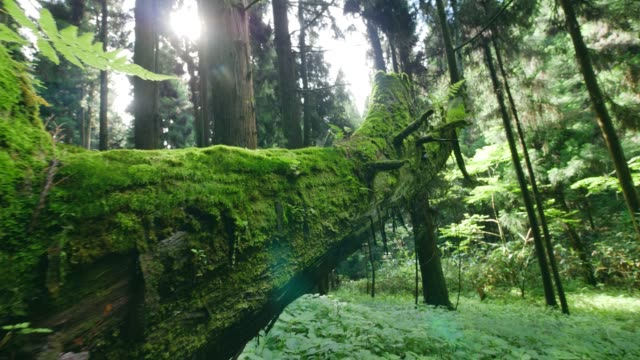green moss on the trunk of an old rotten tree - moss stock videos & royalty-free footage