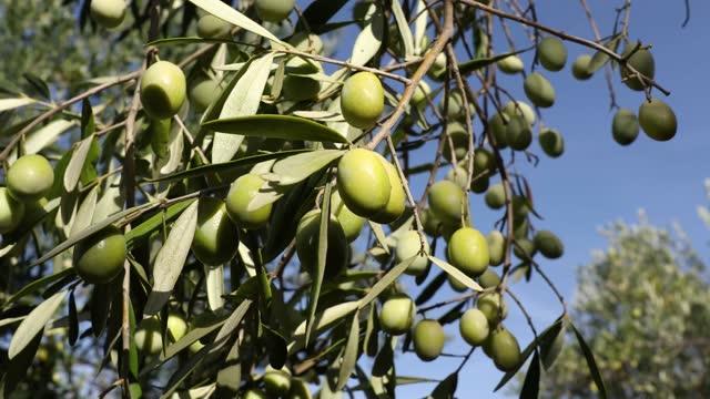 木の上の緑のオリーブ - オリーブ油点の映像素材/bロール