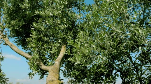 グリーンオリーブの木の枝で、風が強い日 - 木を抱く点の映像素材/bロール