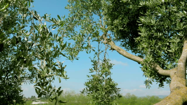 Green olive tree branches on windy day
