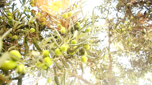 green olive tree - olive oil stock videos & royalty-free footage