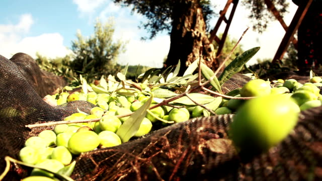 green olive - harvesting stock videos & royalty-free footage