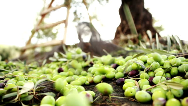green olives falling - picking harvesting stock videos & royalty-free footage