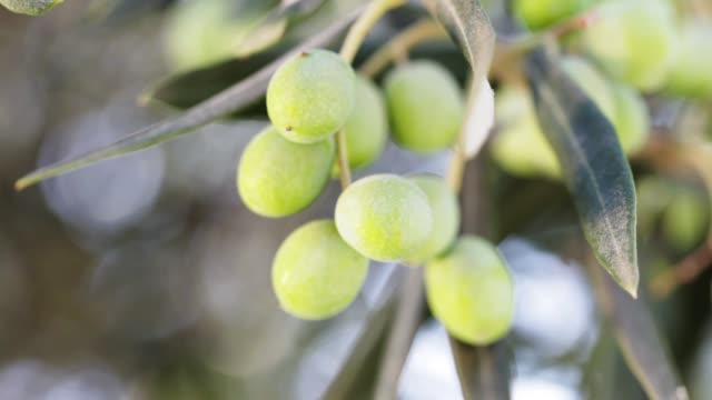 green olives on the tree - olive fruit stock videos and b-roll footage
