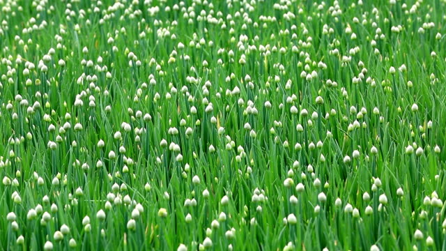 green onion field - shallot stock videos & royalty-free footage