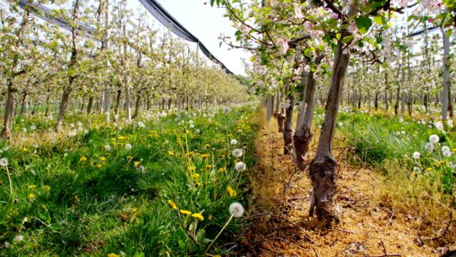 vídeos de stock, filmes e b-roll de hd dolly: pomar de verde na primavera - árvore de folha caduca