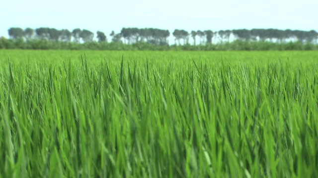 green paddy in ogata, akita, japan - polder stock videos and b-roll footage