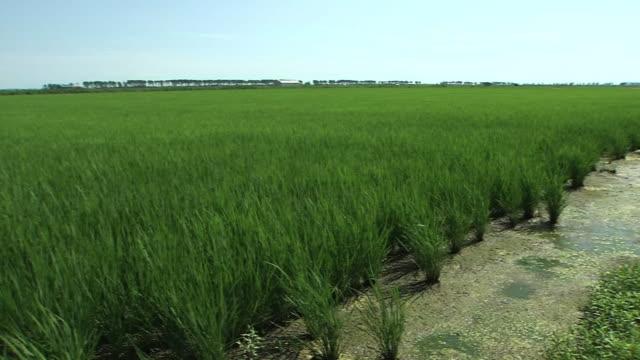 green paddy in ogata, akita, japan - 秋田県点の映像素材/bロール