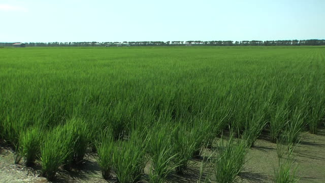 green paddy in ogata, akita, japan - rice paddy stock videos and b-roll footage