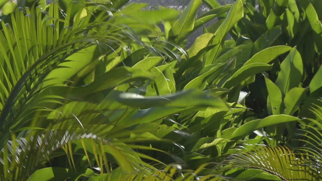 vidéos et rushes de ms green palm fronds and banana plant leaves waving in the wind / bogota, colombia - bananier