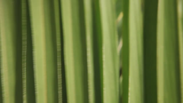 CU PAN Green palm leaves / Nassau, New Providence, Bahamas
