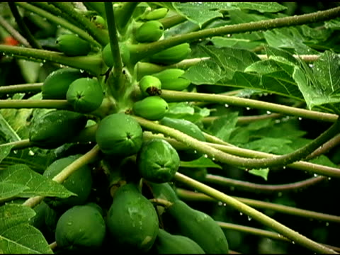 green papaya plant wet from rain - papaya stock videos & royalty-free footage