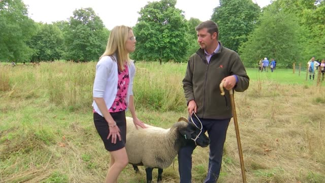green park hosts sheep and cattle for grazing week england london mayfair green park ext black wensleydale sheep grazing various sheep grazing as... - farm stock videos & royalty-free footage